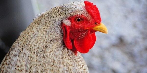 Huhn / Hühner Bild